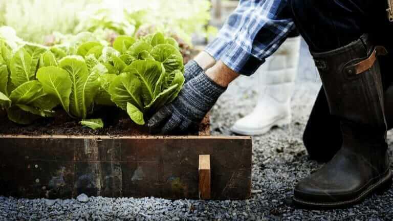 レタス 肥料 種類
