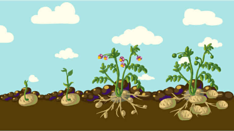 ジャガイモ 育て方 畑