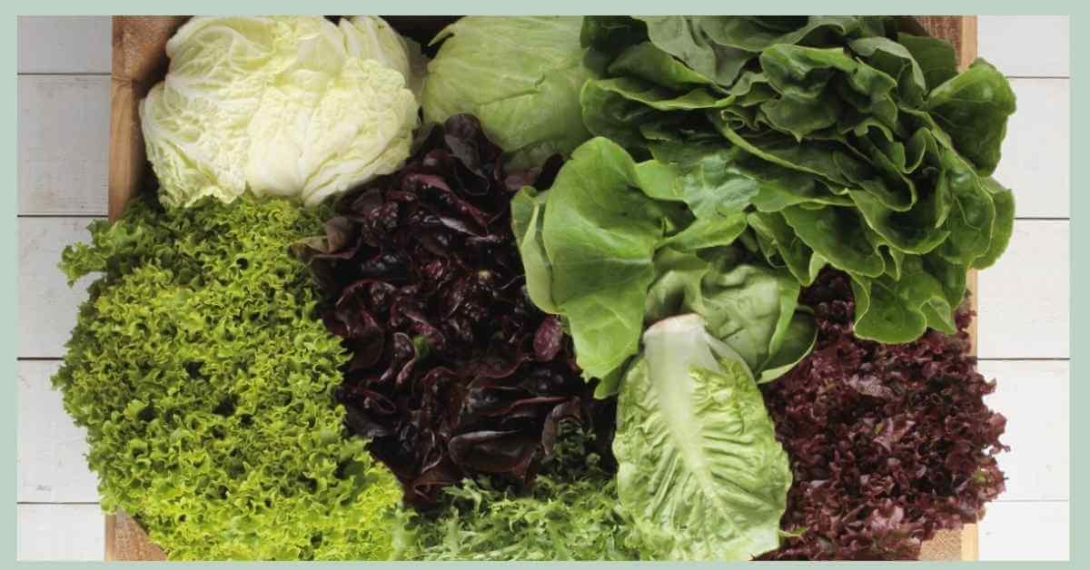 レタスの育て方 種類・収穫 (1)