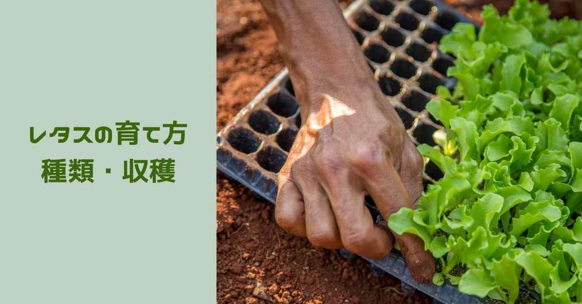 レタスの育て方 種類・収穫