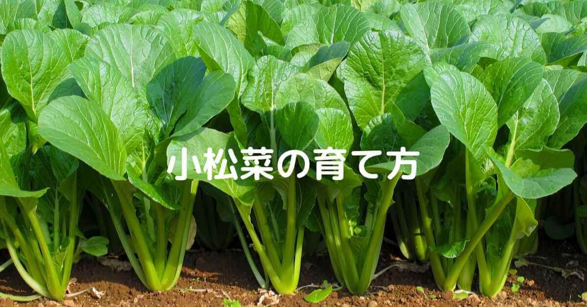 小松菜の育て方